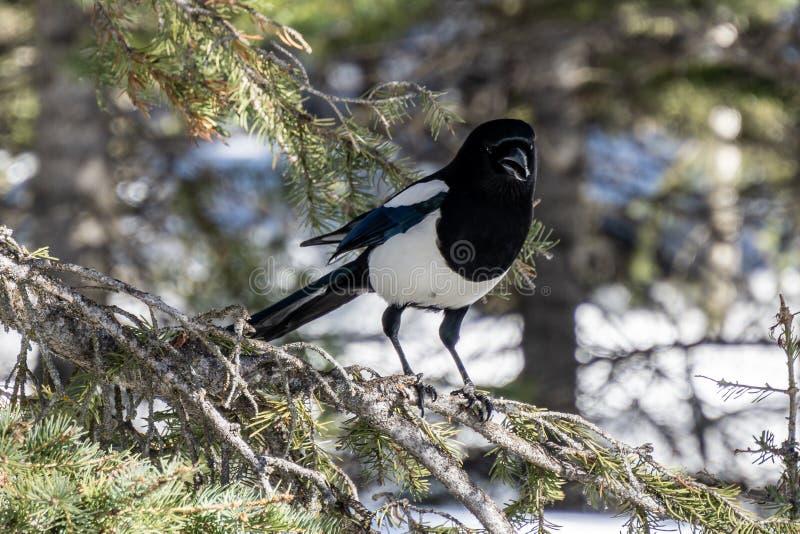 gemensam skata för lös fågel på ett träd i skogen royaltyfri fotografi
