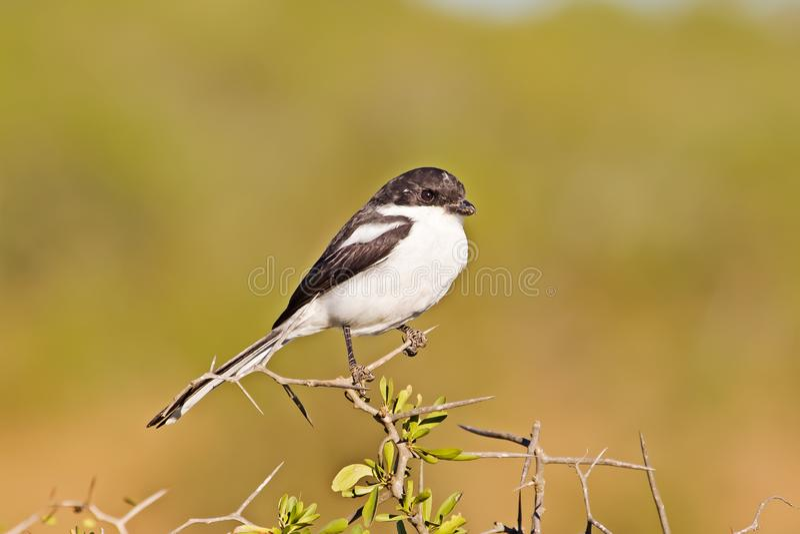 Gemensam skatte- törnskatafågel på taggträd arkivbild