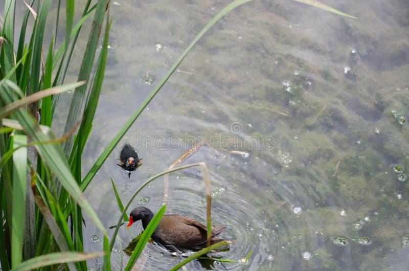 Gemensam sothöna för rörhönaGallinulachloropus som matar dess fågelunge dem fotografering för bildbyråer