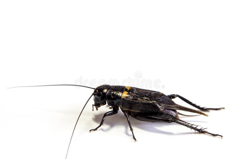 Gemensam svart syrsa isolerat kryp på vit bakgrund arkivfoto