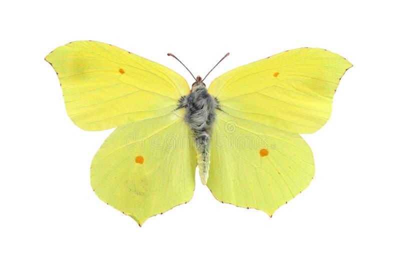 Gemensam svavelfjäril som isoleras på vit arkivfoto