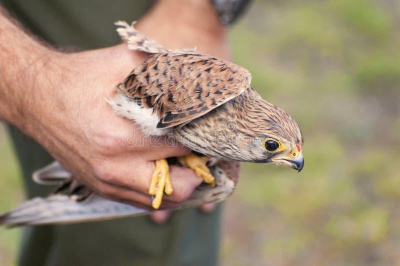 Download Gemensam Tornfalk - Falco Tinnunculus Arkivfoto - Bild av läka, omsorg: 37347804