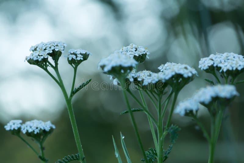 Gemensam yarrow, Achillea millefolium arkivfoto