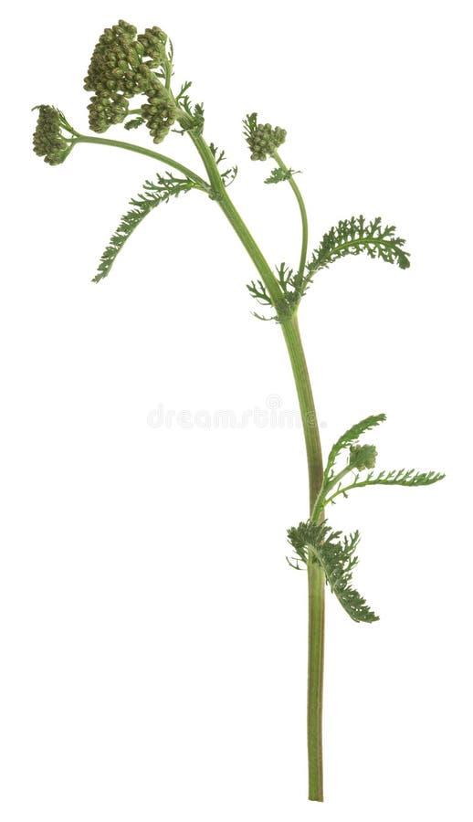 Gemensam yarrow, Achillea millefoliumväxt inte ännu i blom som isoleras på vit bakgrund arkivbilder