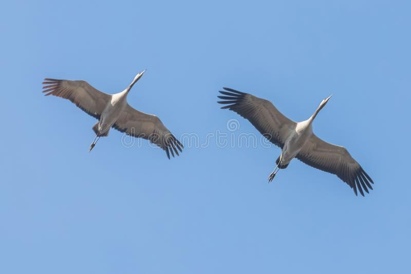Gemensamma blåa himlar för kranar i flykten, Grusgrusflyttning royaltyfri fotografi