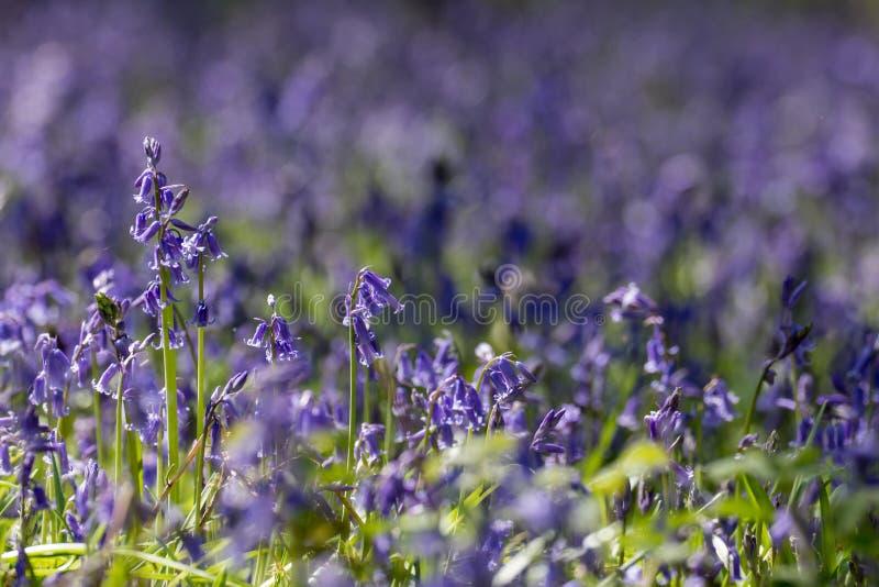 Gemensamma blåklockor (den icke--scripta hyacinthoidesen) royaltyfri bild