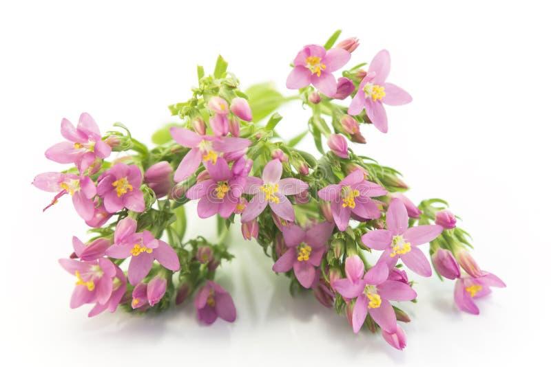 Gemensamma blommor för Centaury (centauriumen Erythraea) fotografering för bildbyråer