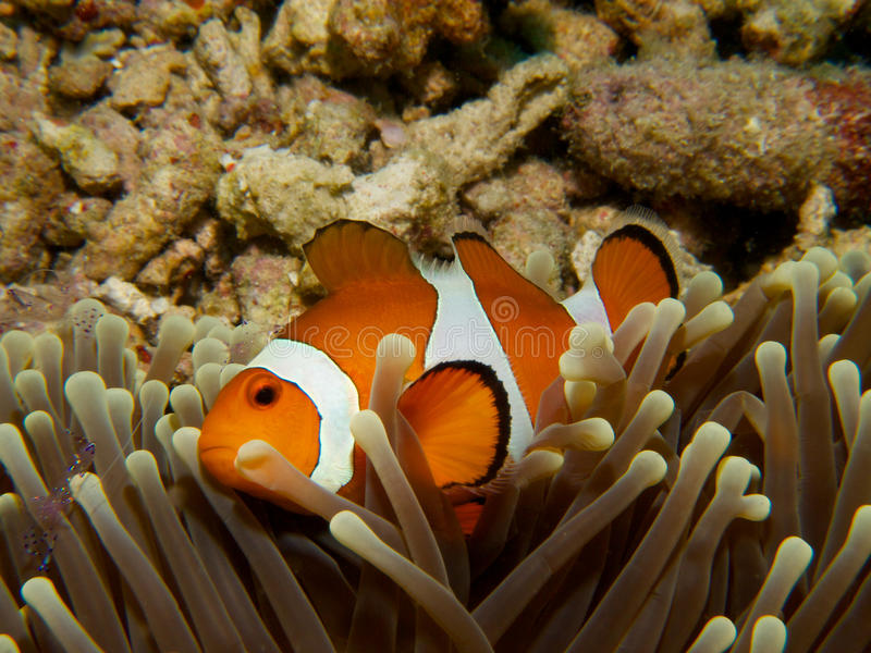 Gemensamma clownfish arkivfoto
