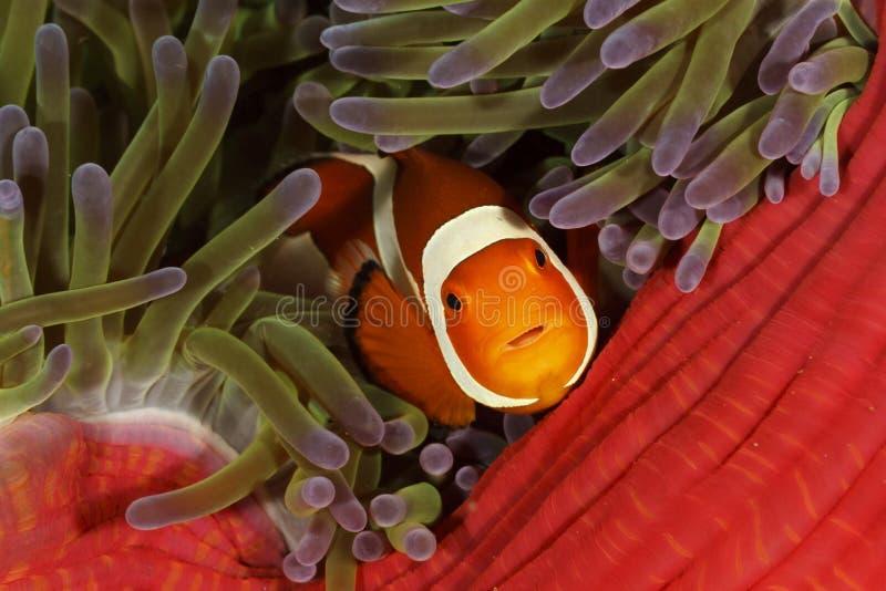 Gemensamma clownfishAmphiprionocellaris, Bunaken medborgare Marine Park, Indonesien royaltyfria bilder