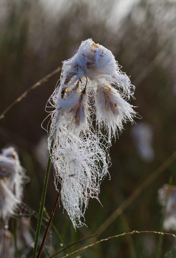 Gemensamma Cottongrass arkivbild