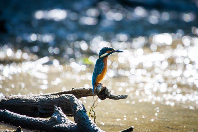 Gemensamma europeiska kungsfiskare- eller Alcedoatthis som s?tta sig p? en pinne ovanf?r floden och jakt f?r fisk royaltyfria foton