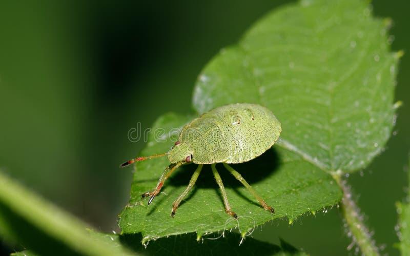 Gemensamma gröna Shieldbug royaltyfri fotografi
