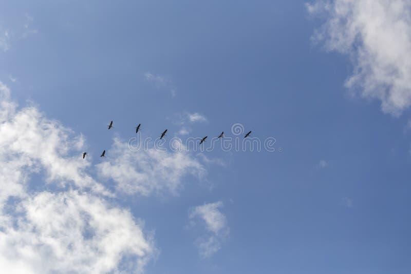 Gemensamma kranar i himlen royaltyfri foto