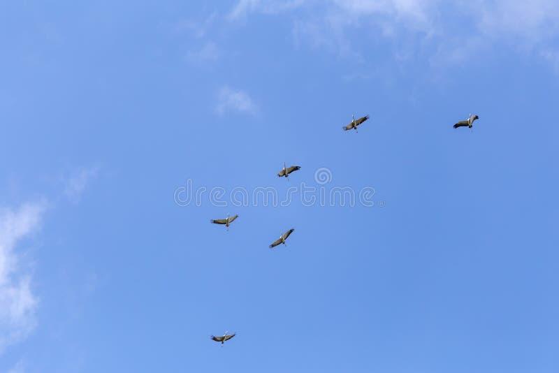 Gemensamma kranar i himlen royaltyfri bild