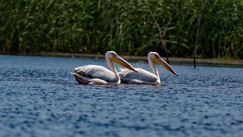 Gemensamma pelikan på Danube River arkivbilder