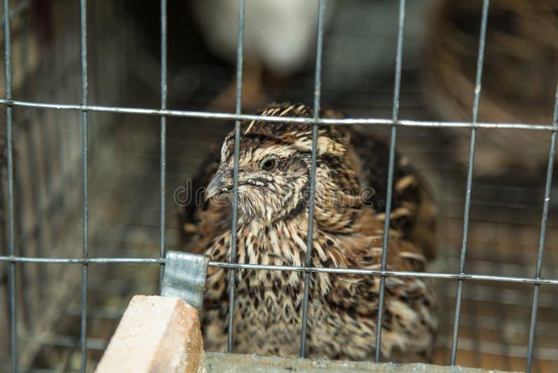 gemensamma quail arkivbilder