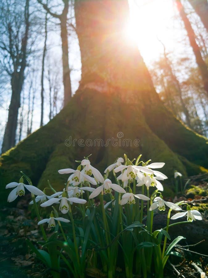 Gemensamma snödroppeGalanthus nivalis som på våren blommar i en gammal skog, under det varma solljuset De första blommorna som är royaltyfri bild
