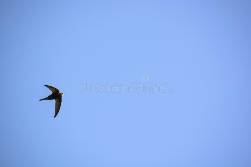 Gemensamma snabba eller Apus-apus flyger i blå himmel royaltyfri foto
