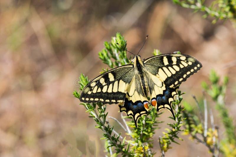 Gemensamma Swallowtail med vingar öppnar royaltyfria foton