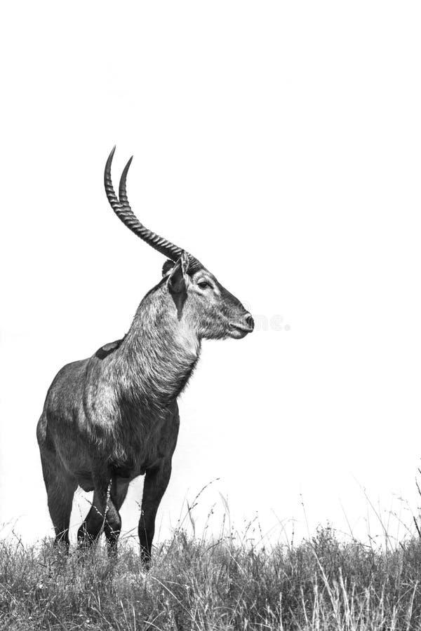 Gemensamma Waterbuck i den Kruger nationalparken, Sydafrika arkivbild