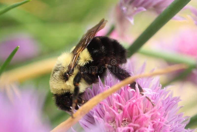 Gemensamt östligt stapplar biet som undersöker möjligheterna i en gräslökblomning royaltyfria foton