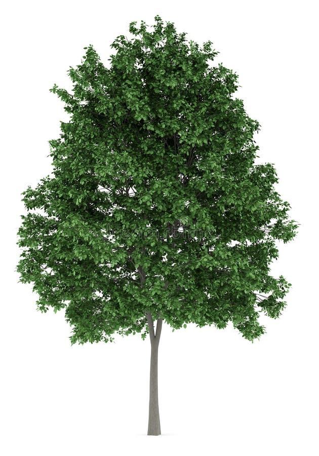 Gemensamt avenbokträd på vit vektor illustrationer