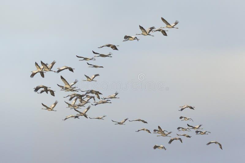 Gemensamt flyg för flock för kranGrusgrus fotografering för bildbyråer
