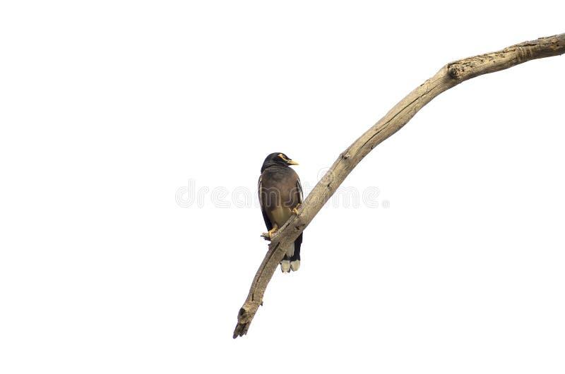Gemensamt mynasammanträde på en död trädbjörk arkivfoton