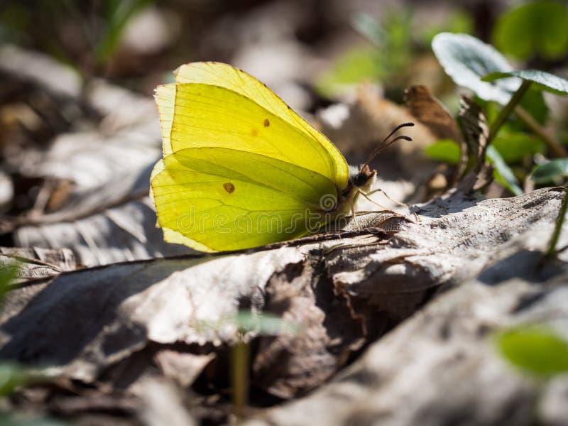 Gemensamt svavel för Gonepteryx rhamni som sitter på en jordning fotografering för bildbyråer