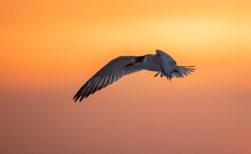 Gemensamt tärnaflyg på solnedgången royaltyfria foton