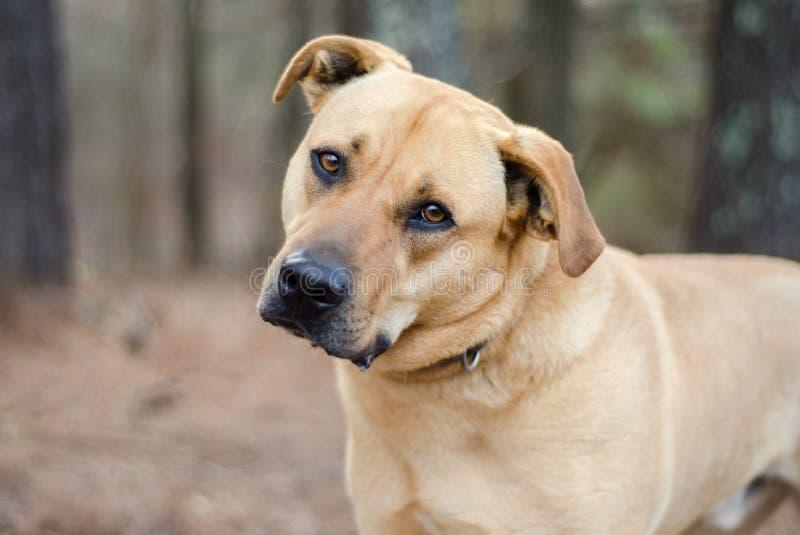 Gemischter großer Hund Zucht Labradors Mastiff stockfotografie