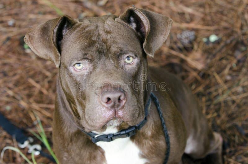 Download Gemischter Zuchthund Dogue De Bordeaux Bulldogge Stockbild - Bild von grafschaft, bordeaux: 96934299