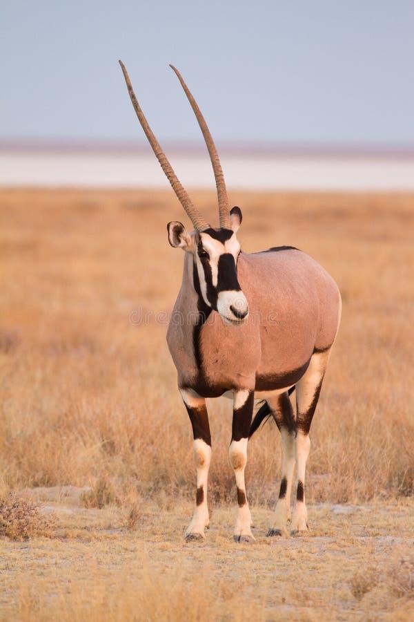 Download Gemsbok антилопы стоковое изображение. изображение насчитывающей gazelle - 18390107