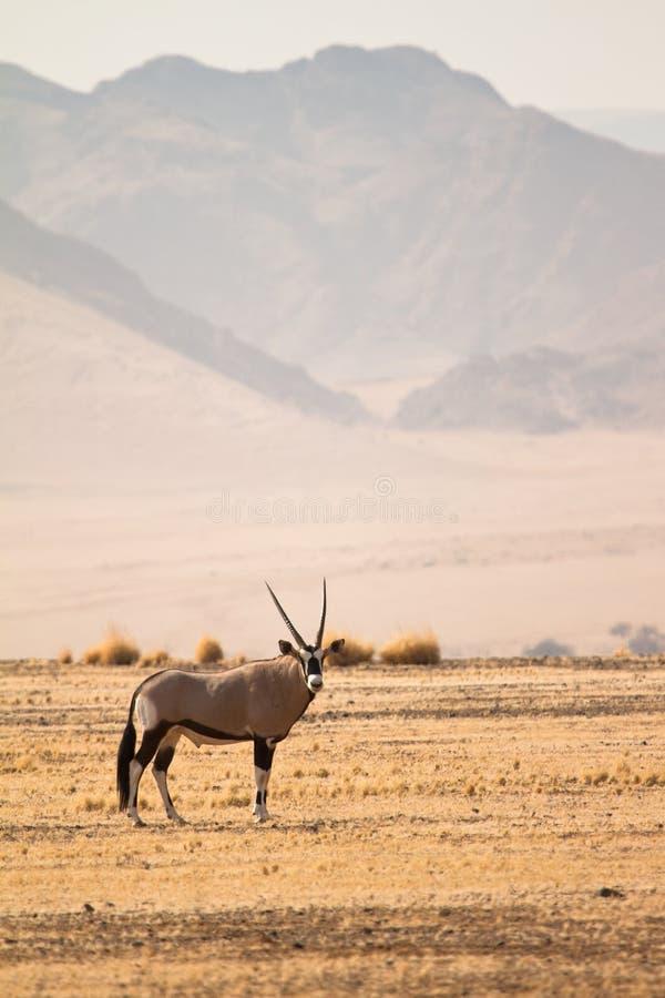 gemsbok royaltyfri bild