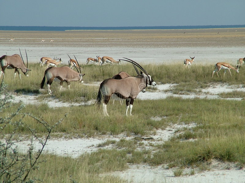 Download Gemsbok stock image. Image of wildlife, oryx, gemsbuck - 2757935
