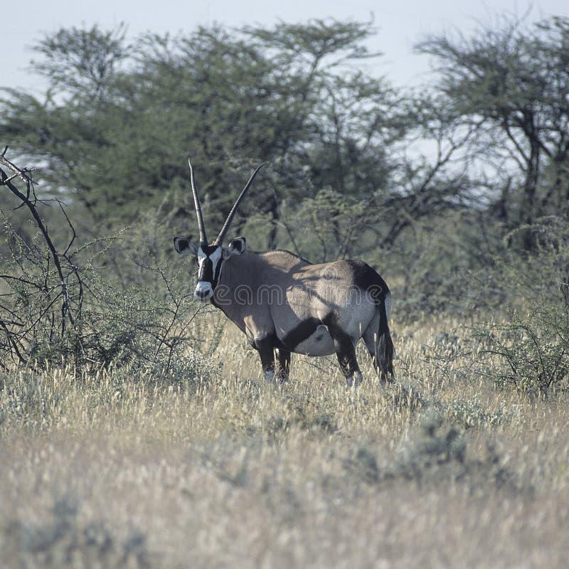 Download Gemsbok zdjęcie stock. Obraz złożonej z długi, namibia - 65226146
