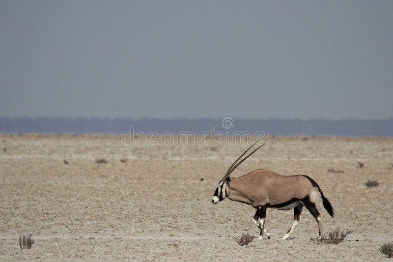 gemsbok photos stock
