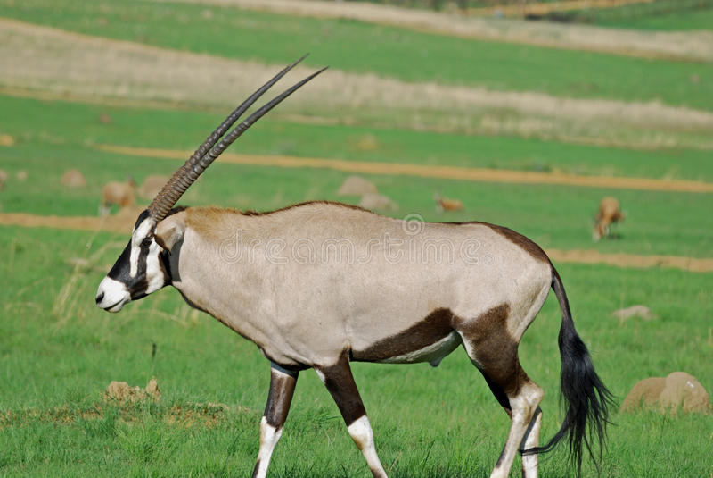Gemsbok African Antelope royalty free stock photography