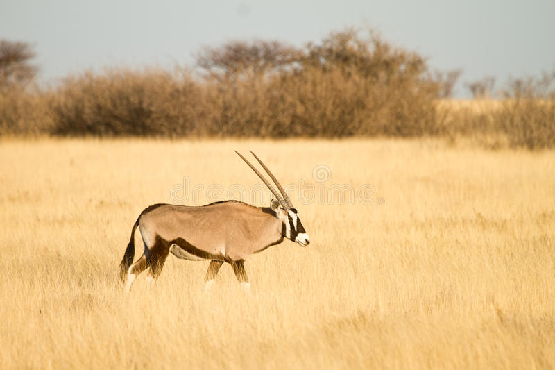 Download Gemsbok antelope stock photo. Image of desert, gazelle - 18386278