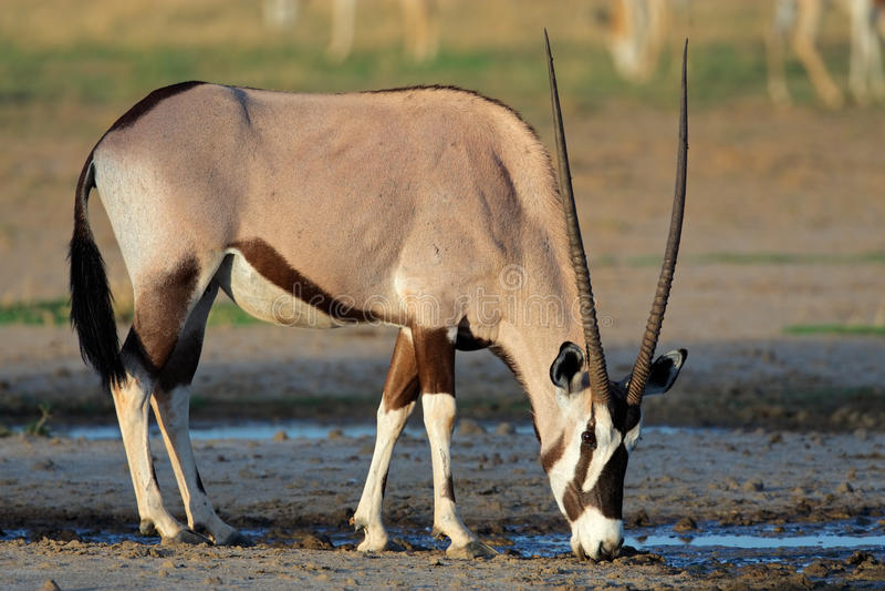 Gemsbok antelope, Kalahari desert, South Africa stock photography