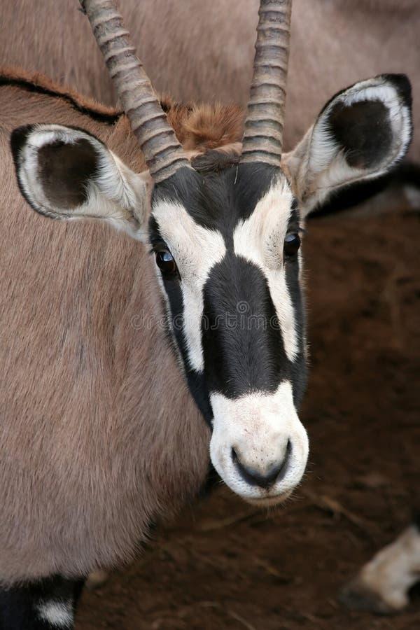 Gemsbok-Antilopen-Portrait stockbilder