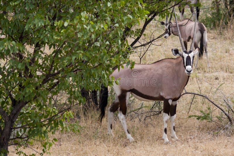 Gemsbok che esamina macchina fotografica in savana, parco nazionale di Etosha, Namibia fotografie stock