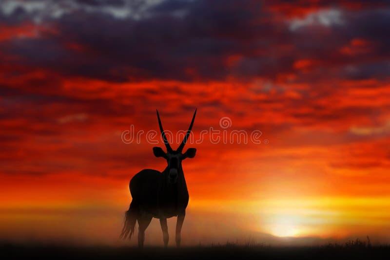 Gemsbok com por do sol alaranjado da noite da duna de areia Gemsbuck, gazella do Oryx, grande antílope no habitat da natureza, So imagem de stock royalty free