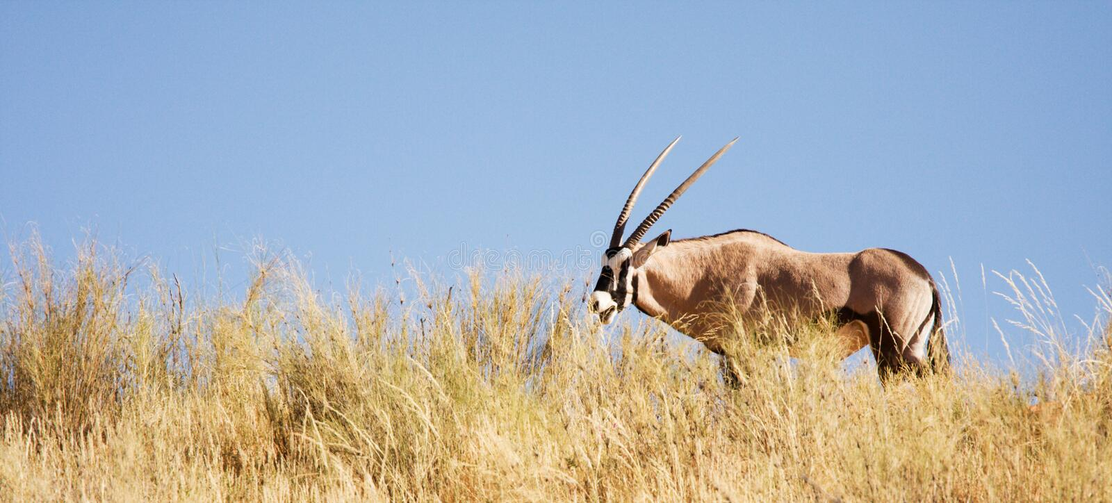 gemsbok d'antilope frôlant kalahari photo libre de droits