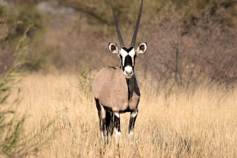 Gemsbok dans Kalahari central images libres de droits
