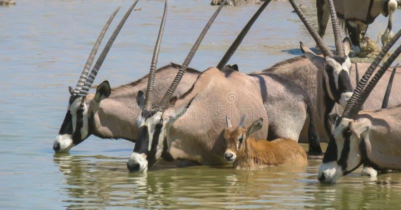 Gemsbok dans le point d'eau, tandis qu'eau potable au point d'eau en parc national d'Etosha image stock
