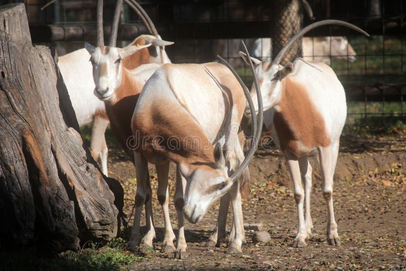 Gemsbok del Oryx imagen de archivo