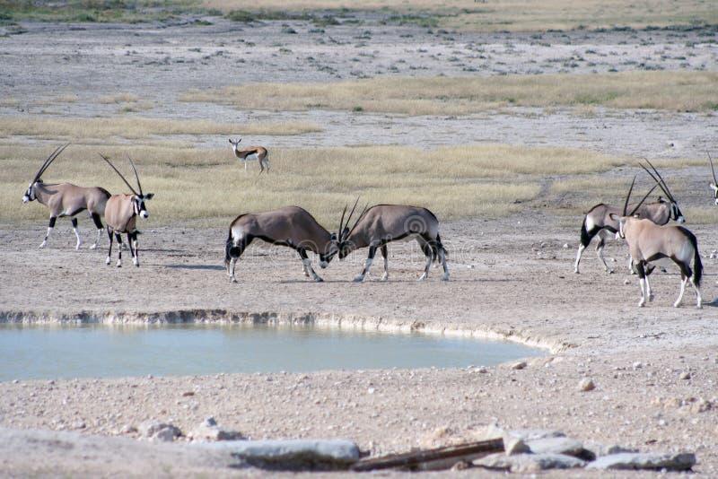 Gemsbok, der am waterhole kämpft stockbild