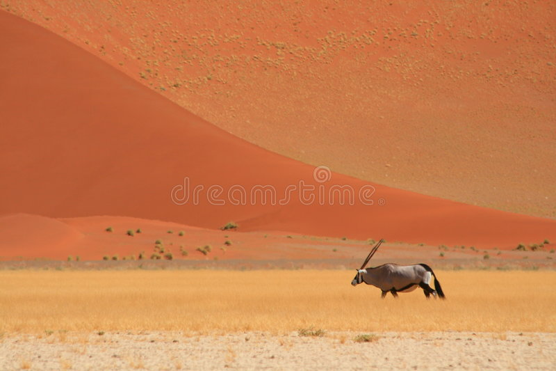 Gemsbok in the desert with red sand dunes royalty free stock photo