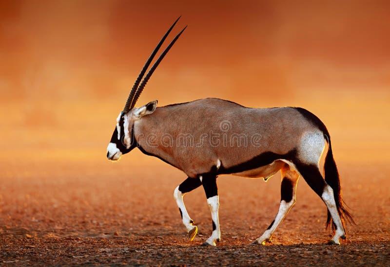 Gemsbok on desert plains at sunset. Gemsbok ( Oryx gazella) on dusty desert plains at sunset. Kalahari - South Africa royalty free stock photos